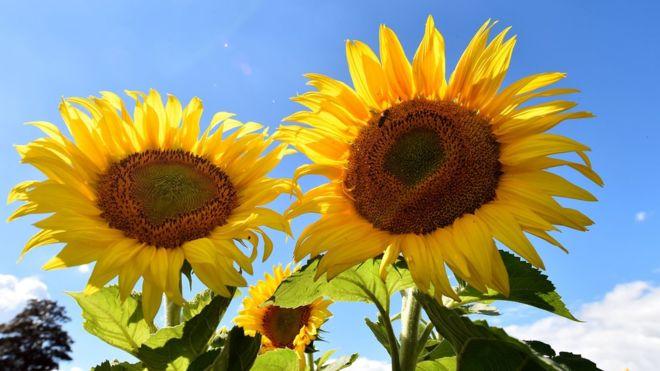 ¿Por qué los girasoles siguen al Sol y de un momento a otro dejan de hacerlo?