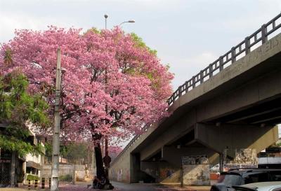 La lujuria rosa del lapacho embellece Asunción señalando el fin de invierno