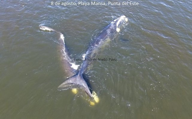Drones captan ballenas en costas uruguayas en su intimidad