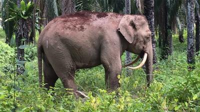 Aparece en Malasia un extraño elefante 'dientes de sable' con los colmillos invertidos