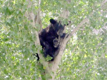 Los osos negros resurgen en EEUU