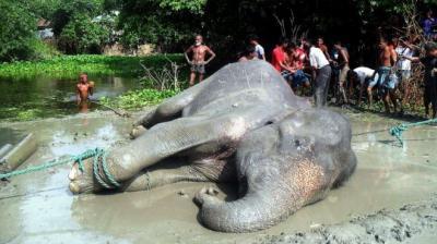La trágica historia del elefante al que una inundación arrastró de India a Bangladesh