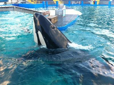 Acusan al acuario de Miami de ocultar el sufrimiento de la orca confinada 46 años