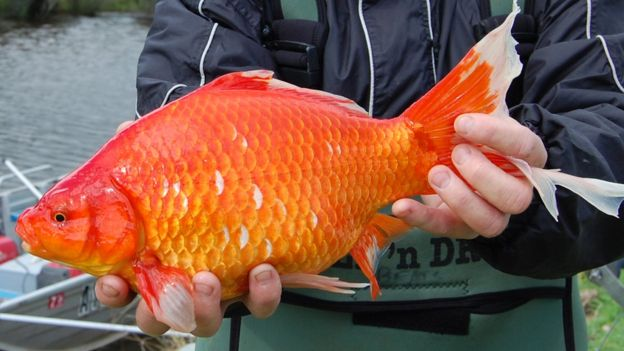 Cómo los populares peces dorados terminan convirtiéndose en monstruos