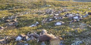 Masacre de la naturaleza: Rayos matan más de 300 renos en Noruega