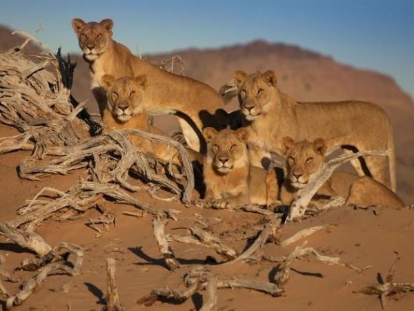 """Tres leones hermanos de """"los cinco mosqueteros""""del desierto de Namib mueren envenenados"""