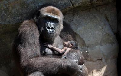 La caza ilegal lleva a los grandes simios al borde de la extinción