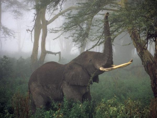 La población de elefantes se desploma con la pérdida de 144.000 ejemplares