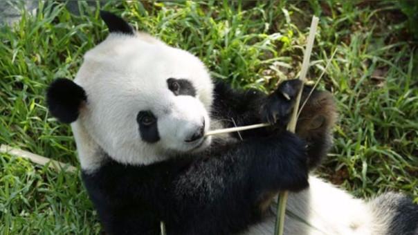 ¿Qué hizo China para salvar al oso panda gigante de la extinción?