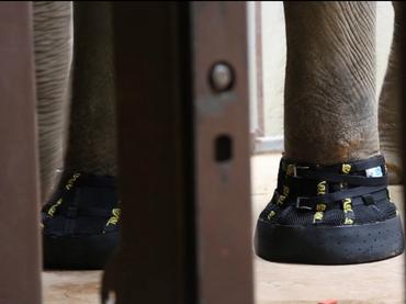 Elefanta recibe botas para lidiar con su artritis
