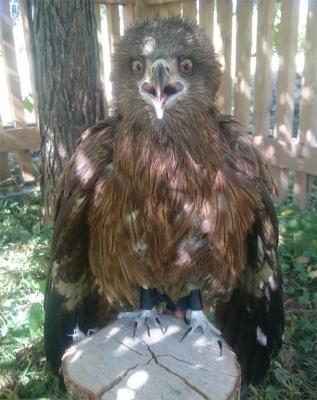Una abuela rusa alimentó a un halcón herido durante un mes; ahora está obeso y se niega a volar